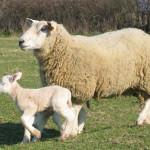 L'agneau de lait est nourri du lait de la brebie