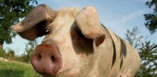 cochon Bayeux
