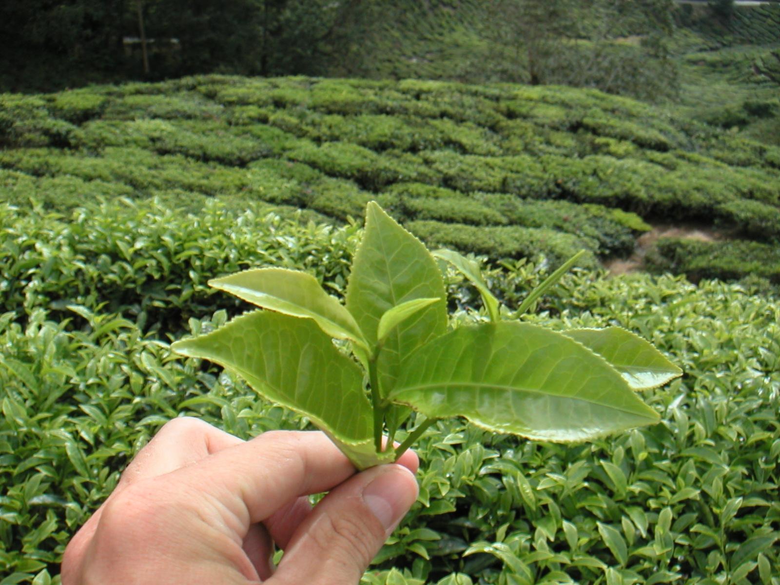 L'inde, la Chine et le Sri-Lanka, plus gros producteurs de thé