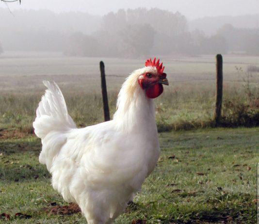 poulet volaille