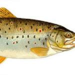 La truite fario (salmonidés) de couleur jaunâtre avec des points colorés