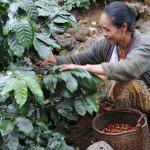 une cafeicultrice ramassant les cerises