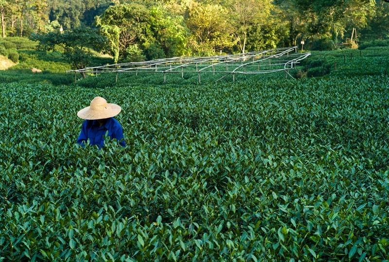 récolte thé vert Japon