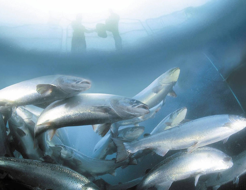 poissons d'élevage
