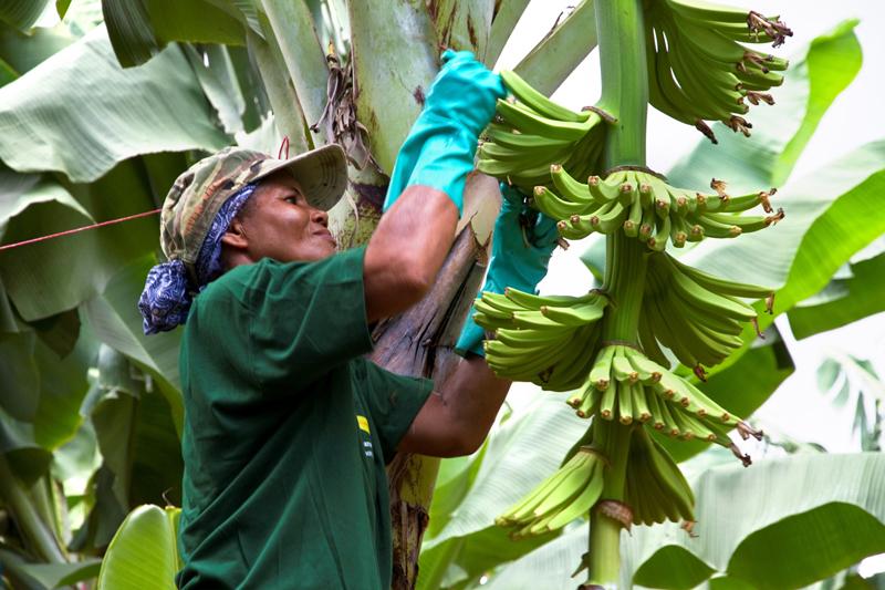 bananeraie Antilles