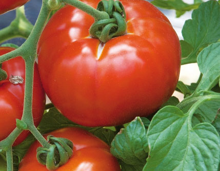 tomate hybride Inra