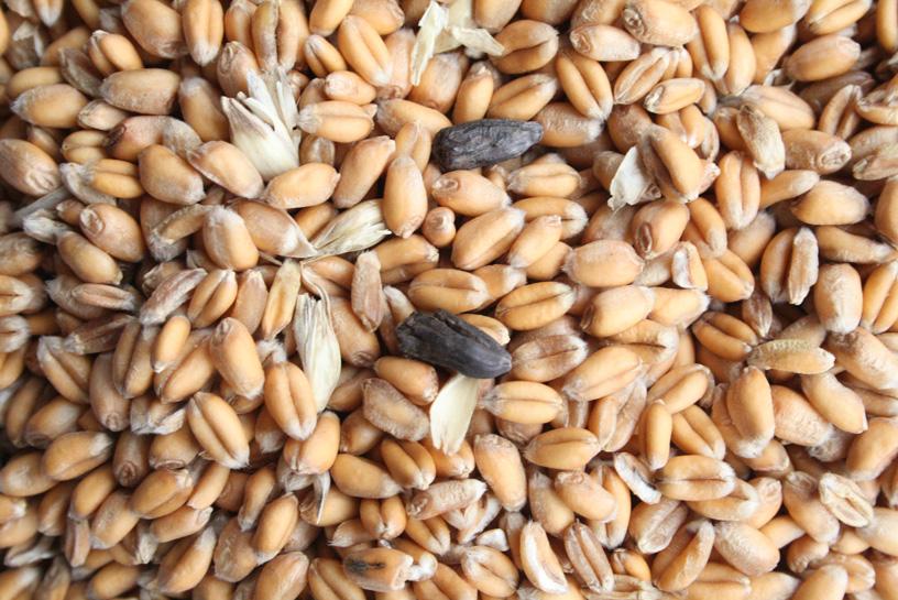 céréales moisissures