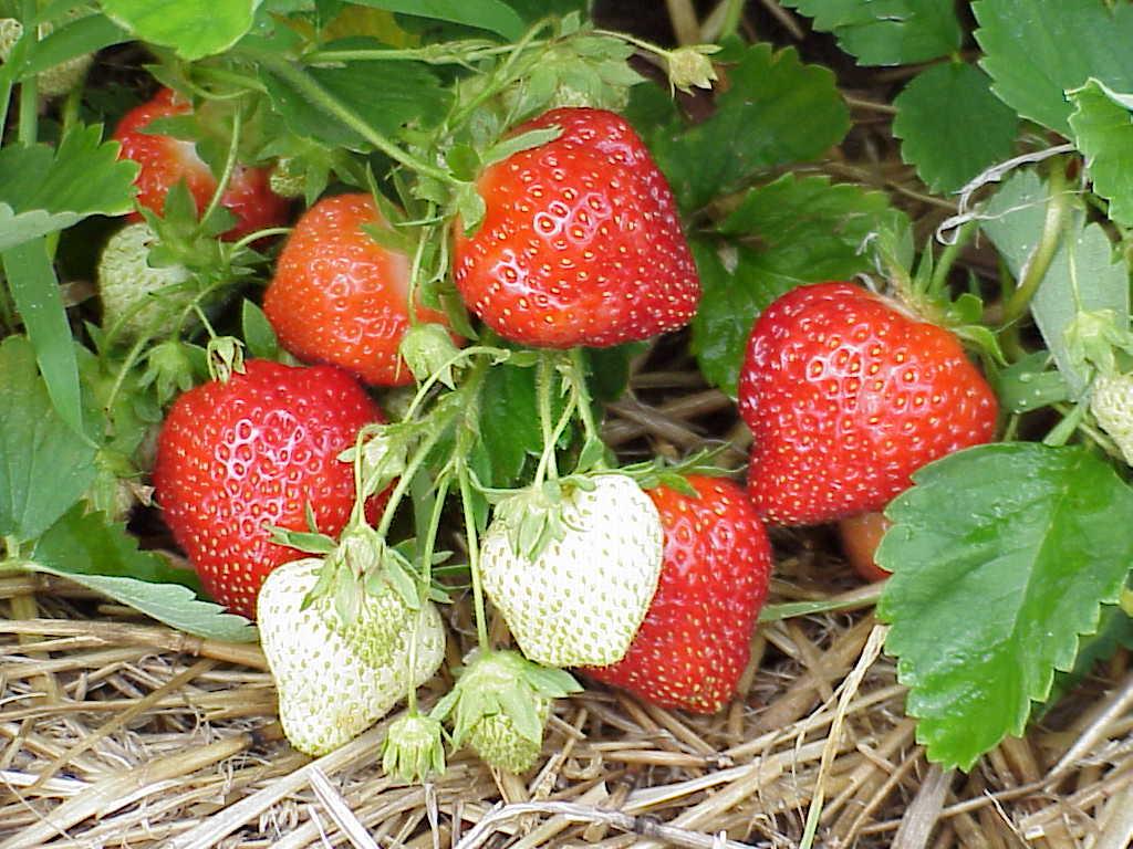 """Résultat de recherche d'images pour """"fraises"""""""