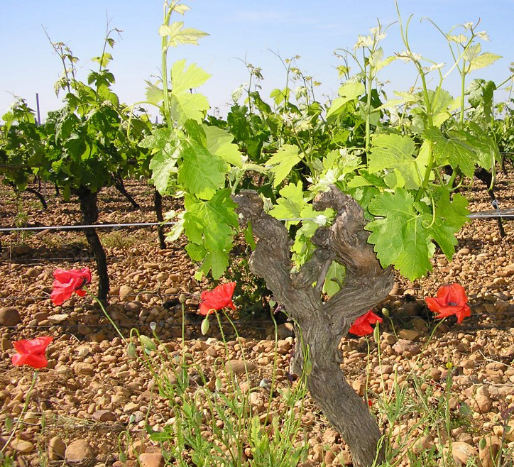 vins bio vignes