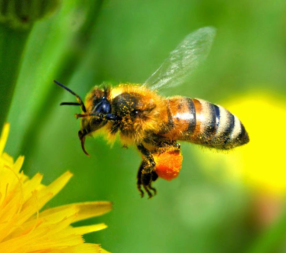 abeille pollen nectar