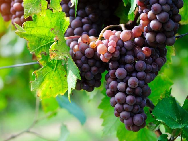 antioxydants vin