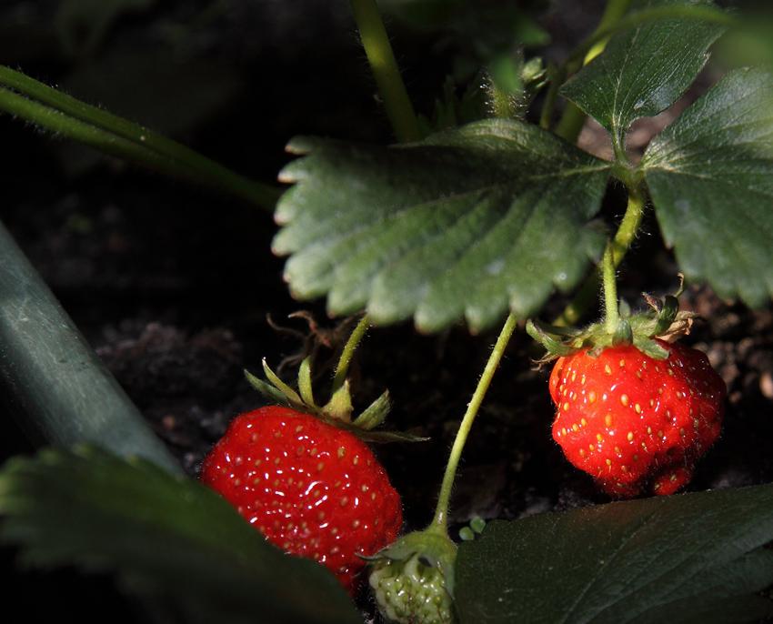 fraises choisir des bio ou les faire pousser soi m me observatoire des aliments. Black Bedroom Furniture Sets. Home Design Ideas