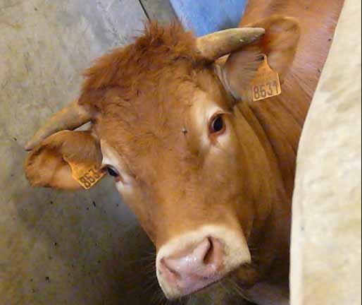 vache abattage