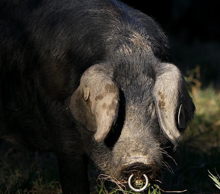 cochon Porc Noir de Bigorre