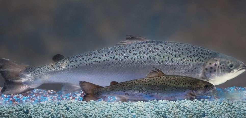 saumon transgénique GM