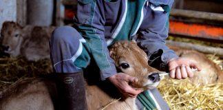antibiotiques animaux