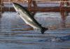 saumon élevage