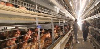 elevage poules industriel