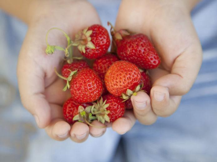 fraises printemps