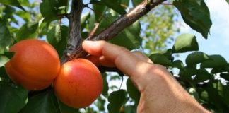 abricots récolte