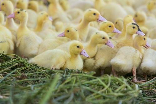 canards foie gras