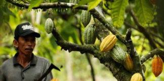 cacao et rechauffement