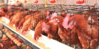 oeufs poules en cage
