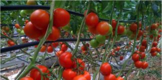 tomates hors sol