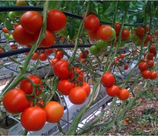 tomates hors sol