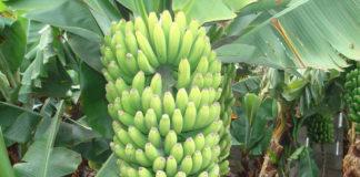 chlordecone contaminant banane