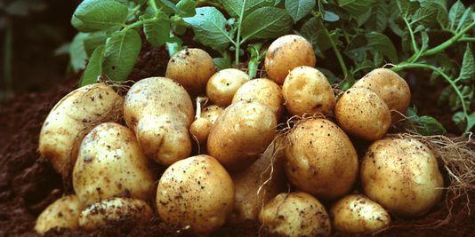 legume pomme de terre