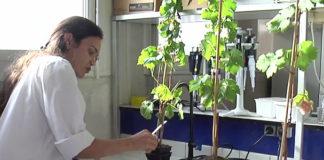 vignes sans pesticides