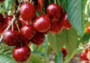 cerises fruits