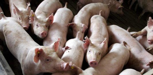 fievre porcine