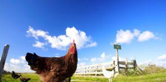 viande poulet