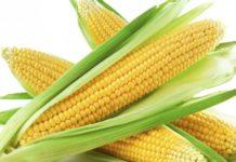 maïs transgénique