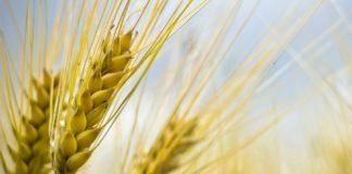 variétés de blé