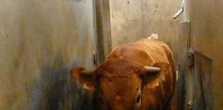 abattoirs bovins