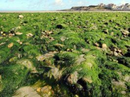 algues vertes elevage