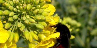 pollinisateurs butineurs