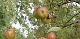 pommes variétés anciennes