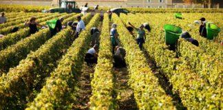 Bordelais viticulture