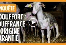 agneaux elevage maltraitance