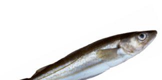 merlan poisson