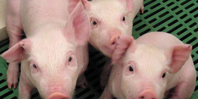 porc ogm